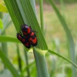 Blutzikade, Insekt des Jahres 2009